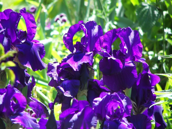 Le jardin de Claude Monet à Giverny 20060602_011