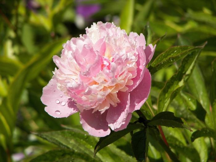 Le jardin de Claude Monet à Giverny 20060602_043