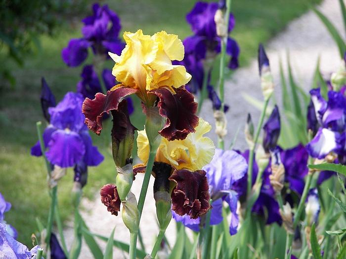 Le jardin de Claude Monet à Giverny 20060602_057