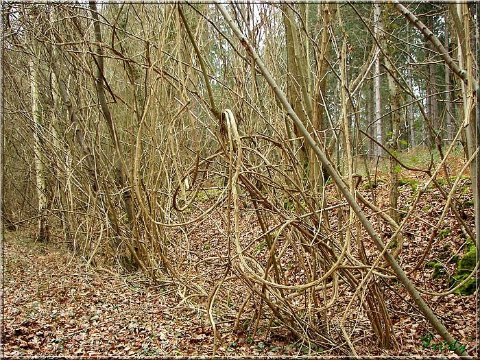 En forêt de Bord/Louviers 20070128_022