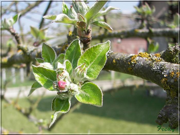 Les pommiers de mon jardin 20070414_004