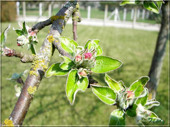 Les pommiers de mon jardin 20070414_008