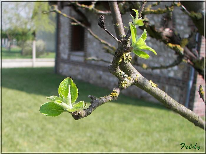 Les pommiers de mon jardin 20070414_011