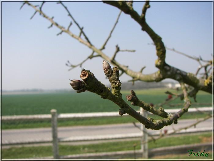 Les pommiers de mon jardin 20070414_013