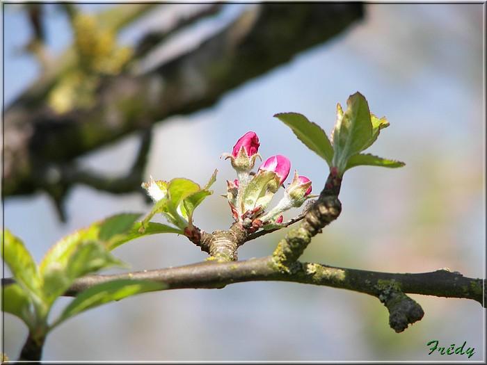 Les pommiers de mon jardin 20070419_004