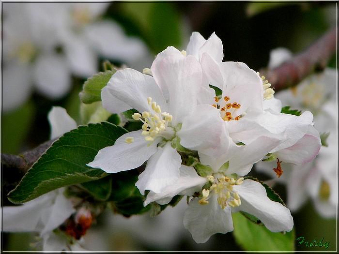 Les pommiers de mon jardin 20070427_002