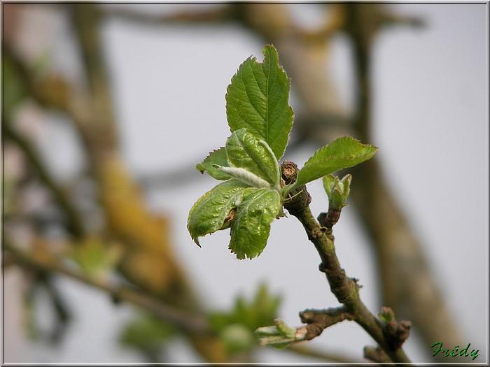 Les pommiers de mon jardin 20070427_011