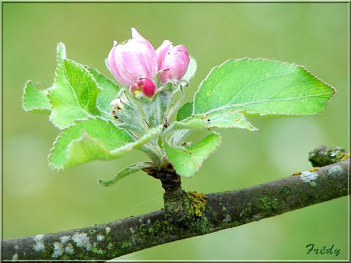 Les pommiers de mon jardin 20070427_015