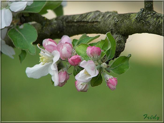 Les pommiers de mon jardin 20070427_016