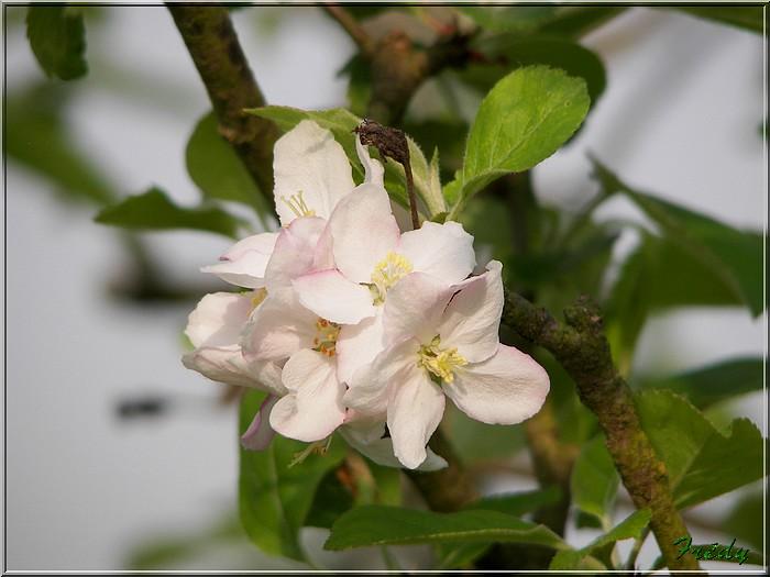 Les pommiers de mon jardin 20070427_018