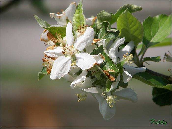 Les pommiers de mon jardin 20070501_014