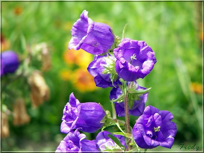 Bien-aimé Nom de fleurs avec photo - fleur de passion KE92