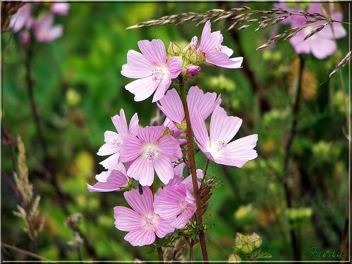 Fleurs des champs 20080616_056