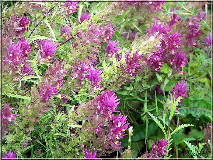 Fleurs des champs 20080622_032