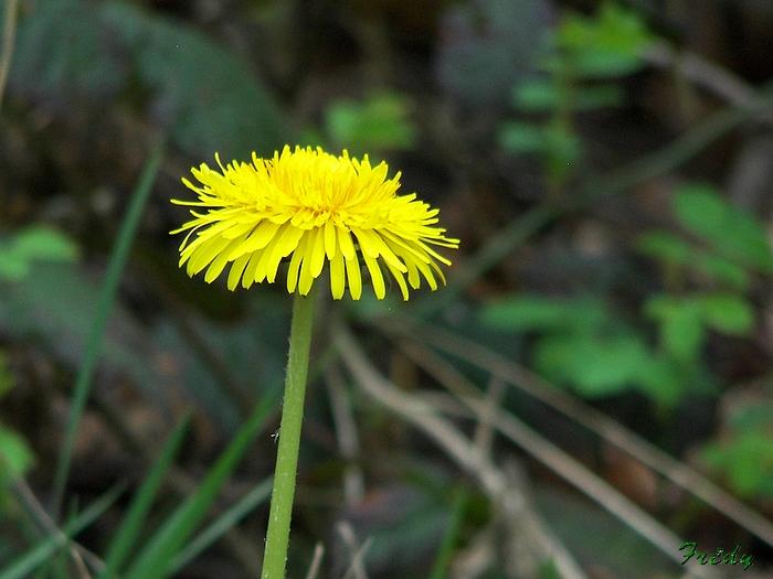 Fleurs sauvages de nos forêts, à la Mare Saint Lubin 20090413_027