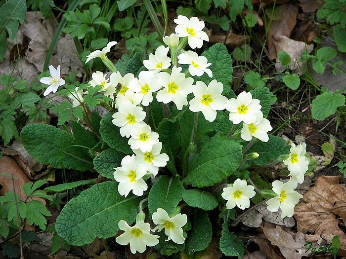 Fleurs sauvages de nos forêts, à la Mare Saint Lubin 20090413_031