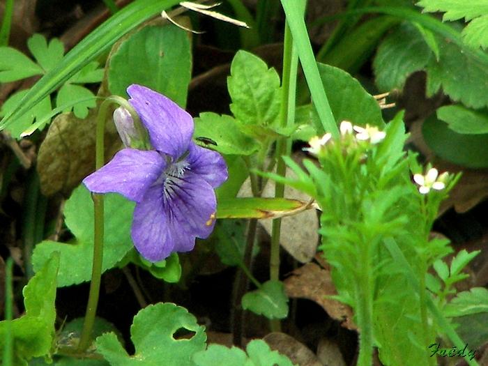Fleurs sauvages de nos forêts, à la Mare Saint Lubin 20090413_032