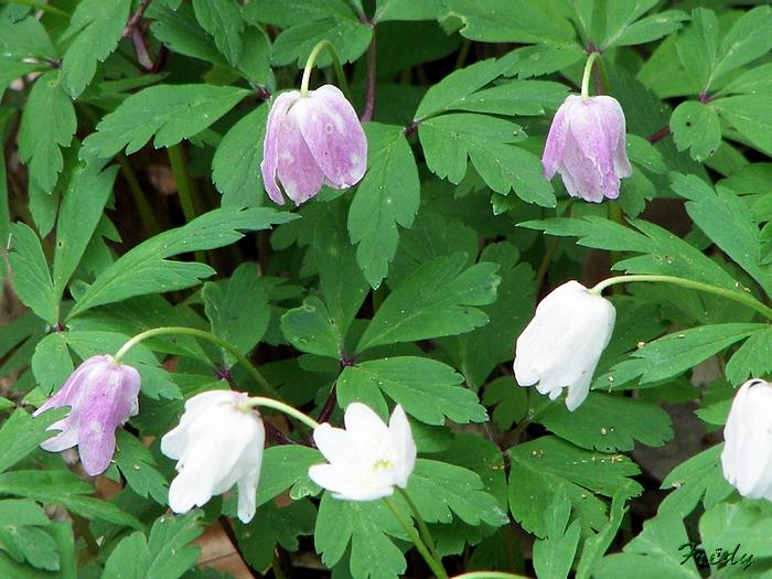 Fleurs sauvages de nos forêts, à la Mare Saint Lubin 20090413_038