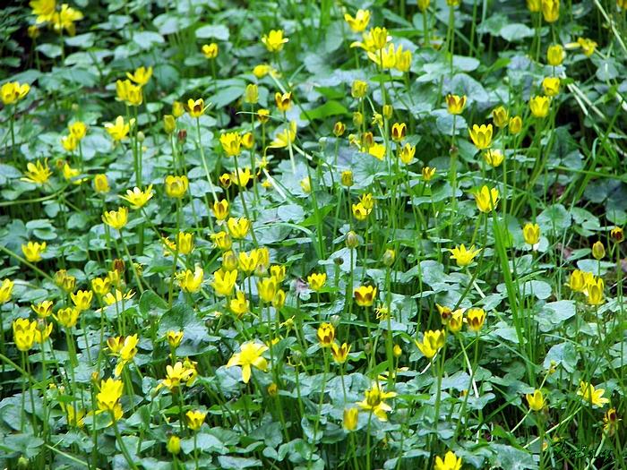 Fleurs sauvages de nos forêts, à la Mare Saint Lubin 20090413_045