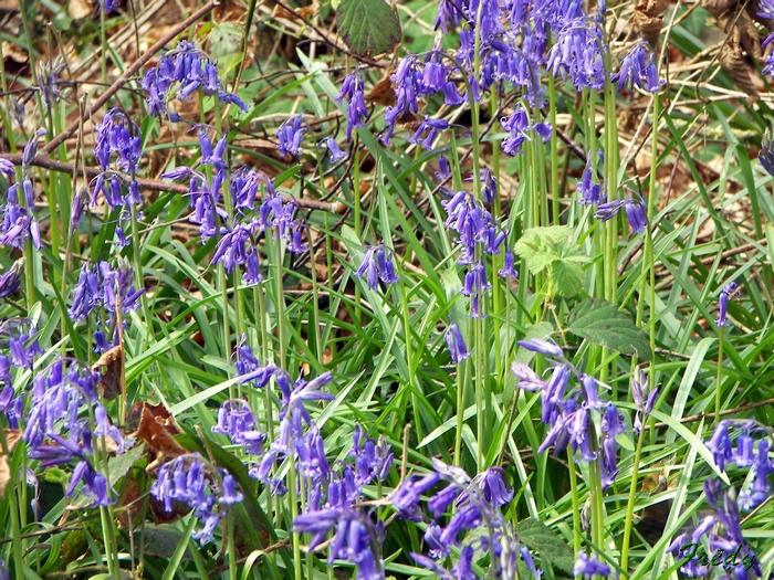 Fleurs sauvages de nos forêts, à la Mare Saint Lubin 20090413_088