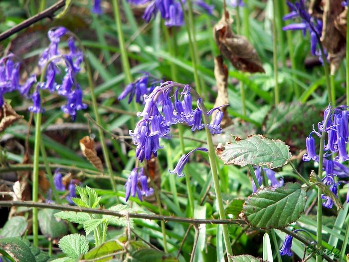 Fleurs sauvages de nos forêts, à la Mare Saint Lubin 20090413_093