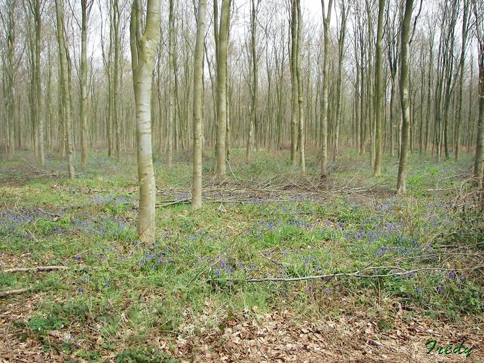 Fleurs sauvages de nos forêts, à la Mare Saint Lubin 20090413_095