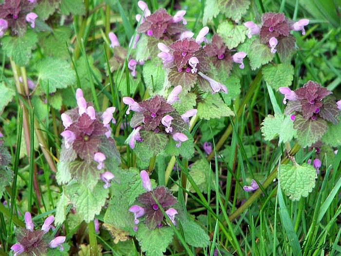 Petite Fleur Violette Sauvage Map Titecampagne