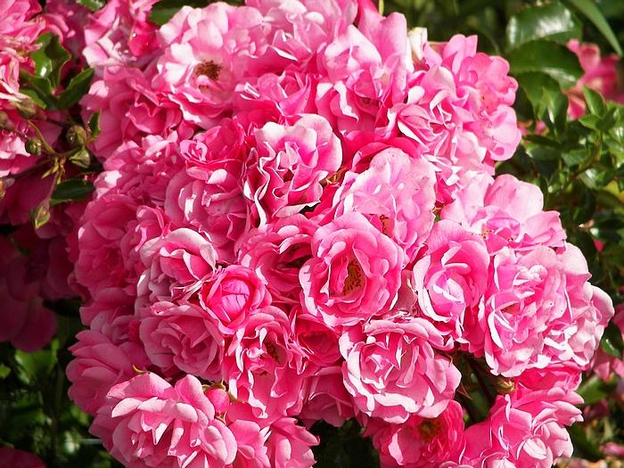 J'adore les roses 20090706_003